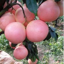新品种三红蜜柚苗,时间就是效益,提早种植三红蜜柚苗,致富先人一步。