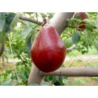 郑州果树研究所梨树苗 红皮梨 黄梨各种梨新品种大量供应