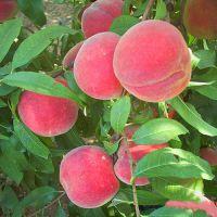 山东基地火爆供应桃树苗 品种桃树苗 晚熟桃树苗 冬桃树苗 品种纯正 量大从优