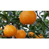 春见 /柑橘苗,柑桔苗,柑桔种苗,果苗