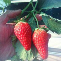 法兰地草莓苗基地|渝中法兰地草莓苗|乾纳瑞农业科技