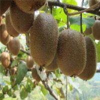 山东泰安基地批发猕猴桃苗 嫁接猕猴桃树苗价格 地径0.5-3公分 当年结果成活率高丰产