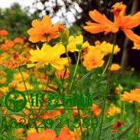 硫化菊种子,草花系列种子批发,用于园林绿化工程、苗圃等。品种优质成活率高,价格优惠