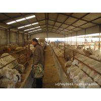 养殖小尾寒羊注意什么?小尾寒羊一天吃多少 羊羔 价格