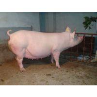 断奶母猪降温消毒设备,米孚母猪消毒降温设备