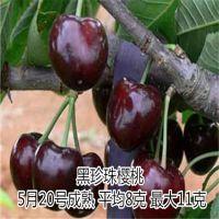 黑珍珠樱桃苗基地 嫁接樱桃苗 樱桃树苗种植技术