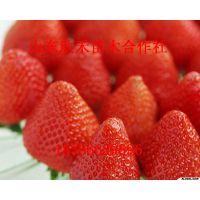 法兰地草莓苗 高质量法兰地草莓小苗 大量供应草莓苗
