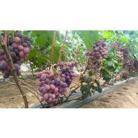 优质巨宝特早葡萄苗价格 早熟葡萄苗 适合大棚种植品种
