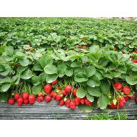供应PE农膜 聚乙烯农业用薄膜 农用膜 灌浆膜 草莓专用膜 水果专用农膜