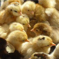 厂家直销广西养殖种苗桂香土鸡苗;正品出厂土鸡批发价格