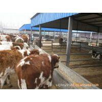 正规养牛场长期黄牛犊,鲁西黄牛牛犊价格,育肥成年牛 繁殖母牛