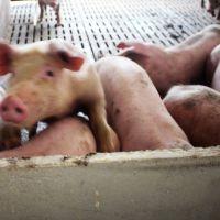 生猪 生态养殖生猪 三元猪 绿色健康生态猪