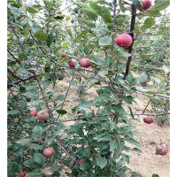 红肉苹果苗_矮化红肉苹果苗批发_红色之爱红肉苹果苗