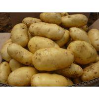 山东土豆荷兰系列土豆价格
