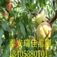 黄桃桃树苗品种 嫁接锦绣黄桃桃树苗价格优质黄桃桃树苗新品种