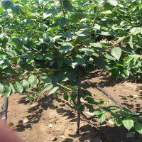 早大果樱桃哪里有卖 山东泰东园艺场常年供应各种果树苗等等