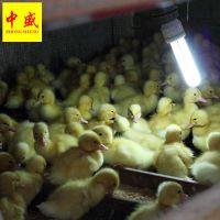 鸭孵化场供应广西南宁桂柳鸭苗批发多少钱一只 北京樱桃谷鸭苗养殖技术新行情统货包打疫苗