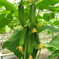 阳台盆栽蔬菜种子 爱乐农迷你小黄瓜种子20粒 多品种选择