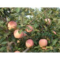 山东大量优质红富士苹果价格