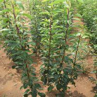山东梨树苗基地 新品种梨苗 梨苗多少钱一棵