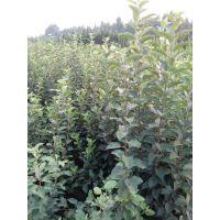 专业果树苗培育种植基地,新品种苹果苗批发,苹果成苗