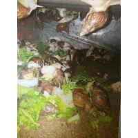 白玉蜗牛种苗包回收