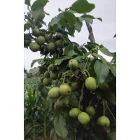 核桃树 核桃树基地 核桃树价格 核桃树批发 冠核一号批发价格