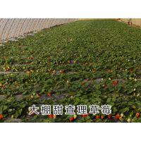 京藏香草莓苗 组培草莓苗 泰东园艺场