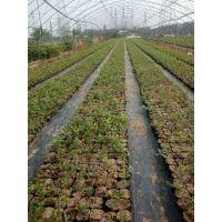 供应1-6年蓝莓苗 兔眼蓝莓苗 蓝莓苗种植技术