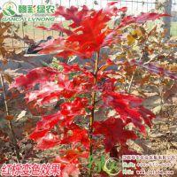 北美红栎 城市绿化树苗 江西北美红栎小苗价格 正宗优质北美红栎小苗供应包成活