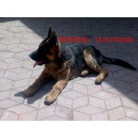 出售牧羊犬-狼青犬-纯种黑背德牧幼犬-1-5月龄幼犬包运