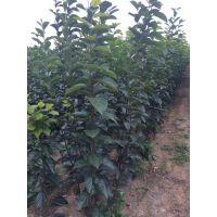 富有柿子苗基地 100%纯种 泰东园艺场