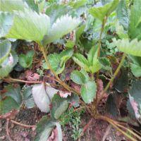 永州法兰地草莓苗、泰达园艺场、优质法兰地草莓苗