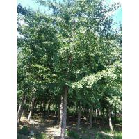 绿都园林(在线咨询)_北京银杏树_15cm银杏树
