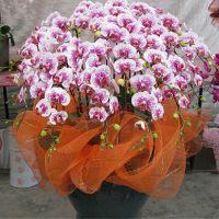 蝴蝶兰,大花蕙兰等年宵兰花类春节批发零售就找南韵竹风