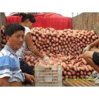 l供应2013质量可靠的 河北雄县红薯基地龙薯9地瓜