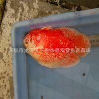 渔场热带鱼观赏鱼之上色20-23公分地图鱼猪仔鱼低价批发
