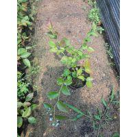一年蓝莓苔藓苗价格/两年蓝莓小苗价格/小蓝莓苗价格