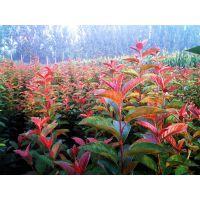 山东彩色苗木基地常年低价处理北美海棠