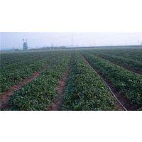 德宏红颜草莓苗批发、红颜草莓苗批发、龙泽苗木