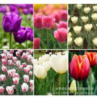 公司热销 郁金香种球套餐 颜色多样庭院客厅观花植物做盆栽