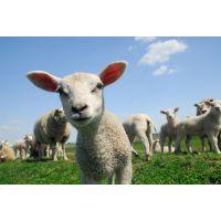 母羊吃什么饲料 母羊能吃哪一种饲料 母羊专用的饲料