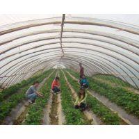 草莓苗我们价格便宜 草莓苗哪里有