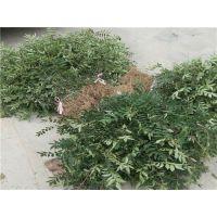 花椒苗基地哪里有?泰安润佳农业大量供应优质高产大红袍花椒苗