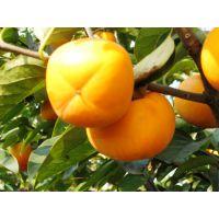 山东3公分柿子树 4公分5公分7公分10公分柿子树价格