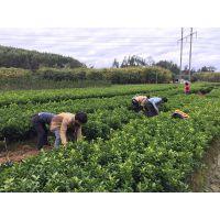供应美国糖桔苗|美国糖桔苗基地批发|鑫鑫农业美国糖桔苗价格