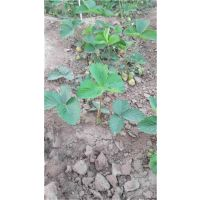 钦州法兰地草莓苗_泰安龙泽苗木_法兰地草莓苗品种