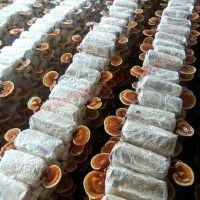 大量现货供应福建优质赤灵芝菌种菌包 可定制