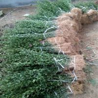 基地大量批发枸橘苗 蓬径10厘米地径0.6公分枸橘苗价格低质量好