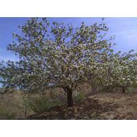 供应优质八棱海棠树沙藏种子